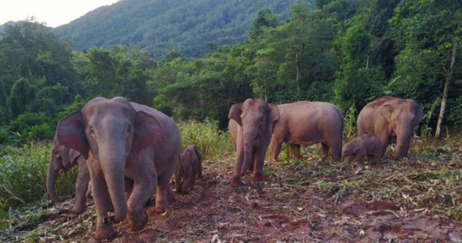 26 years on: Pu'er emerges as a promising habitat for wild elephants