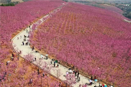 14 years: Yunnan villager turns barren land into cherry blossom valley