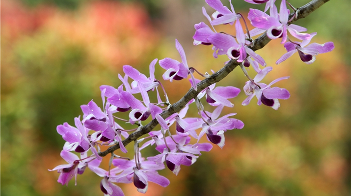 In pics: Dendrobium orchids bloom in west Yunnan