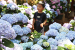 Hydrangeas bloom in Kunming suburb park
