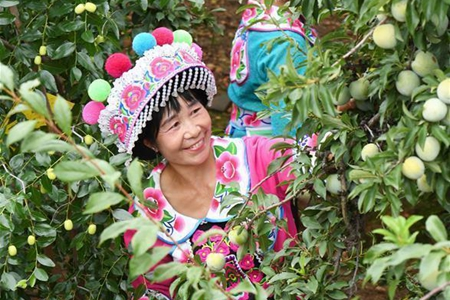 People of Yi ethnic group harvest fruits in Yuanmou County
