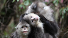 Protection network set in Yunnan for snub-nosed monkeys