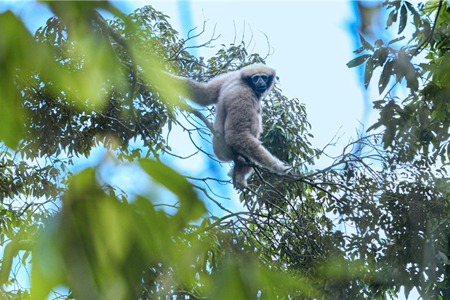 Skywalker hoolock gibbons spotted in SW China