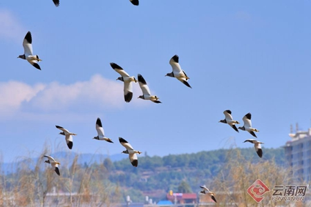 Lapwings appear in SW Yunnan in droves