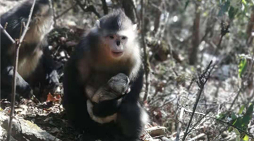 4 Yunnan golden hair monkeys born in SW China nature reserve