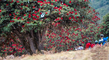 In pics: Azaleas are blooming Yingjiang County