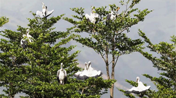 Endangered storks make themselves at home in Yunnan