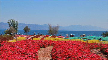 Flowers blossom by the Fuxian Lake in C Yunnan