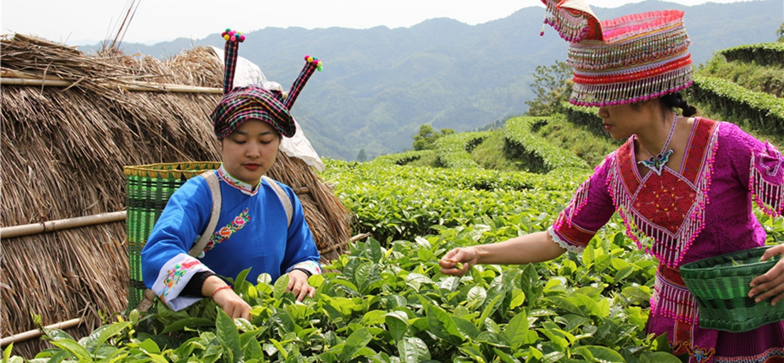 Tea growing helps reduce poverty in SE Yunnan