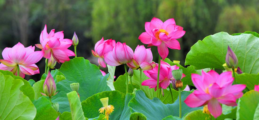 Lotus flowers blossom in Changning, W Yunnan