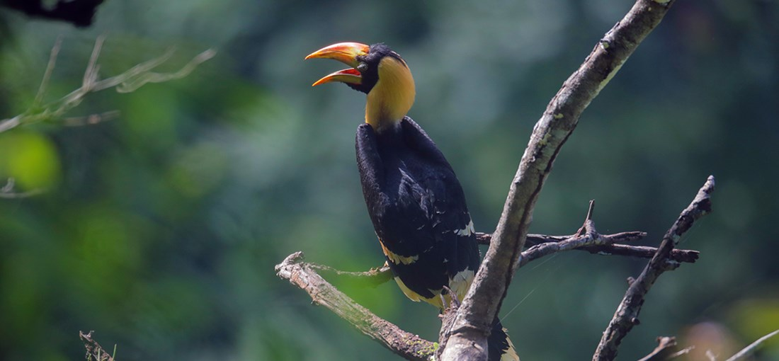 Rare footage of great hornbill chick captured in Dehong, W Yunnan