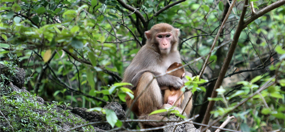 In pics: Macaques enjoy life at new home in E. Yunnan