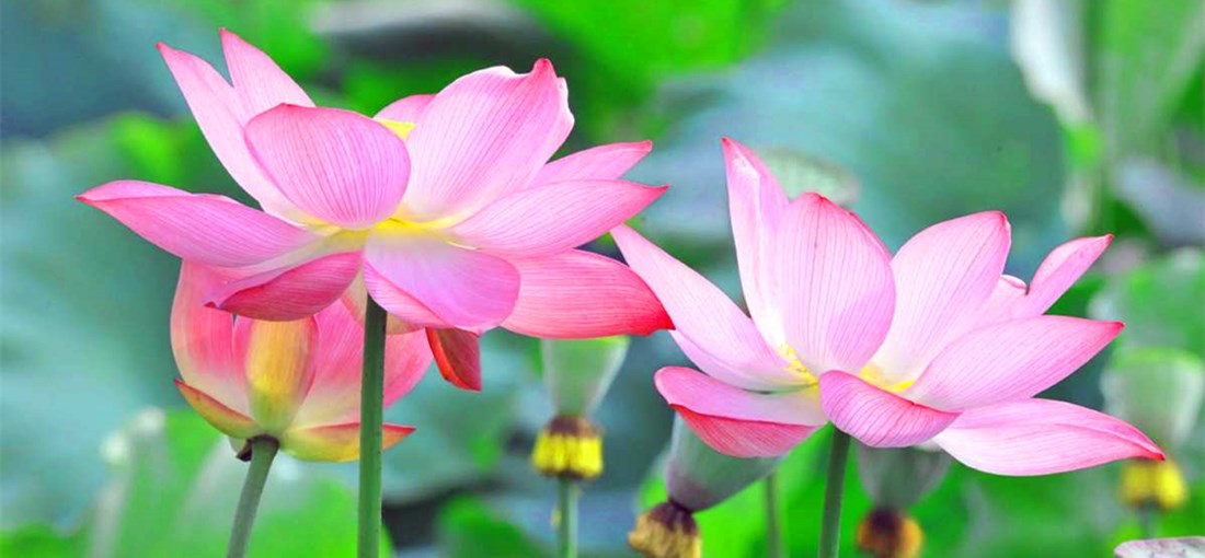 The lure of lotus flowers in Mile, SE Yunnan