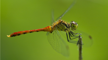 Dragonfly experts, observers call for better protection
