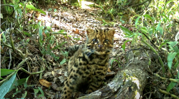 Once near-threatened wild cats now frequently spotted in Yunnan