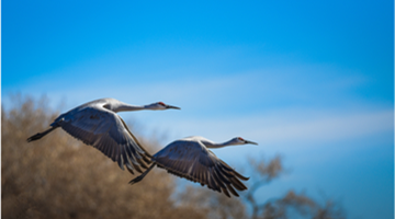 Southwest China nature reserve's annual rendezvous with cranes