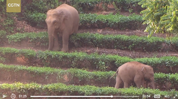 Drone monitoring wild Asian elephants in south Yunnan