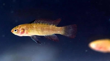 56 species of endemic fish found in Nujiang River